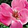 Actif VD3 Like, rosier muscat